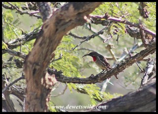 Scarlet-chested Sunbird (female)