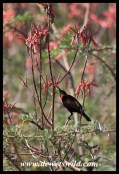 Scarlet-chested Sunbird (male)