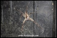 Large Rain Spider on a dustbin at Mission Rocks