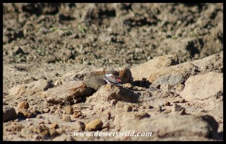 Three-banded Plover on its nest