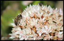 Bee on succulent flowers at Walter Sisulu National Botanical Garden