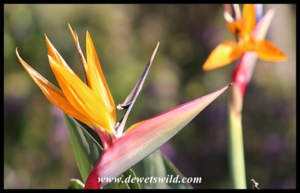 Splendid flowers at Walter Sisulu National Botanical Garden