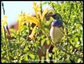 White-bellied Sunbird_Garsfontein_April2020 (4)
