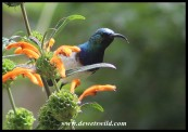 White-bellied Sunbird Male