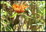 White-belliedSunbird_Garsfontein_22052021 (2)