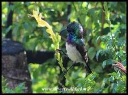 White-bellied Sunbird