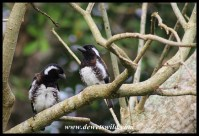 White-eared Barbets - iSimangaliso Wetland Park