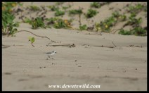 White-fronted Plover