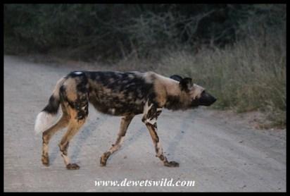 African Wild Dog - Hluhluwe-Imfolozi Park