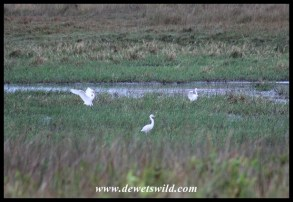 Yellow-billed Egrets