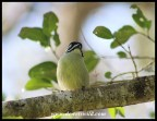 Yellow-rumped Tinkerbird