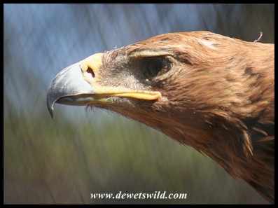 Tawny Eagle (photo by Joubert) - bird being cared for at Dullstroom Bird of Prey & Rehabilitation Centre