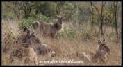 Waterbuck calves