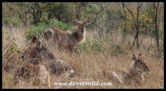Waterbuck calves