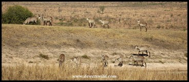 Waterbuck herd at Shitlhave Dam