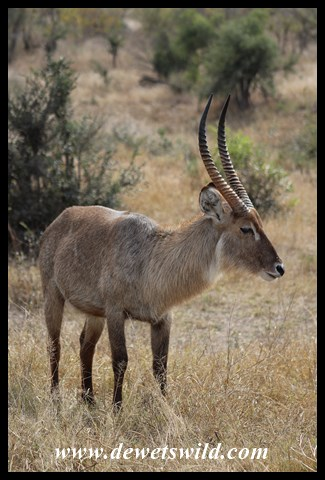 Waterbuck bull at Transport Dam