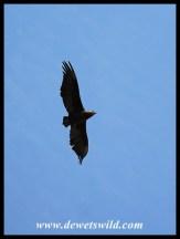Juvenile Bateleur flying overhead