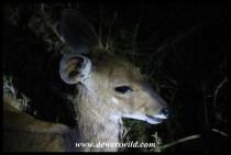 Bushbuck ewe