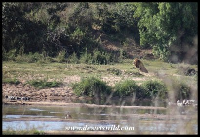 Lion laying claim to his stretch of the Sabie River