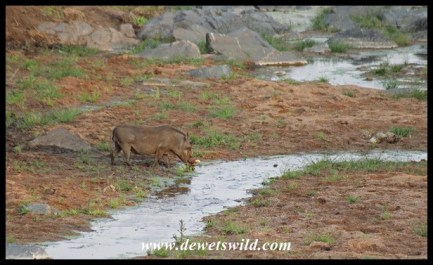 Warthog drinking from a shrinking stream