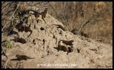 Dwarf Mongoose den