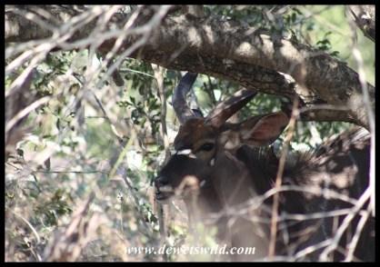 Shy Nyala bull