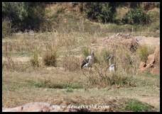 Immature Saddle-billed Storks