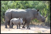 White Rhino Cow and Calf