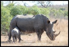 White Rhino Calf suckling