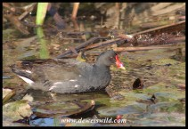 Common Moorhen parent