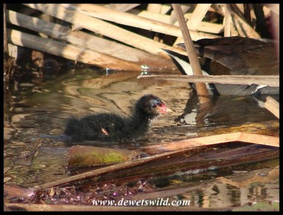 Common Moorhen chick on 4 September 2020
