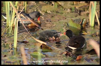 Common Moorhen chick on 10 September 2020 being fed by one of its parents