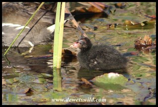 Common Moorhen chick on 10 September 2020