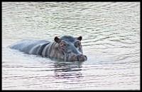 Hippo posturing