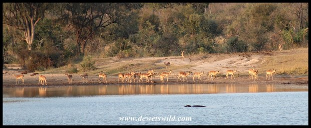 Impala drinking at Transport Dam