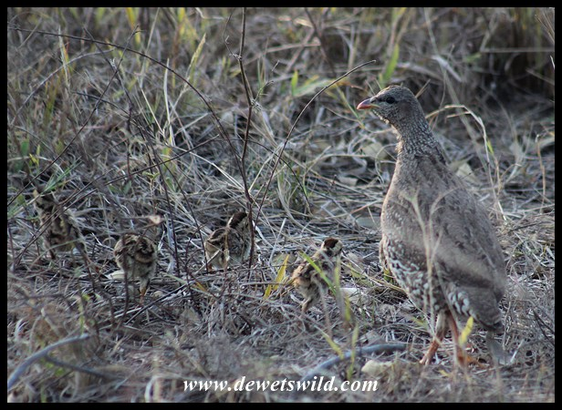 Natal Spurfowl and chicks