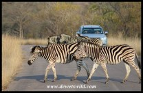 Zebra crossing in Kruger!
