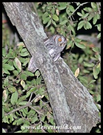 African Scops Owl