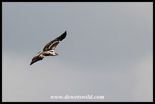 Immature African Fish Eagle