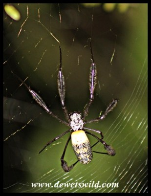 Golden Orb Web Spider