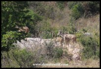 Kudu seen from camp