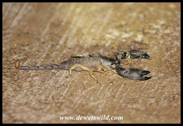 Non-venomous Scorpion (notice slender tail and large pincers)