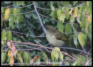 Sombre Greenbul in Napi Wilderness Trail Base Camp