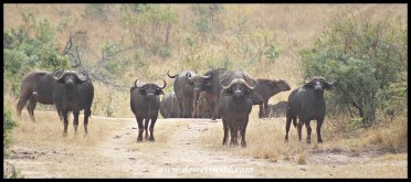 Encounter with a big herd of buffalo