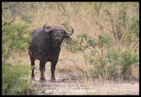 One angry African Buffalo bull