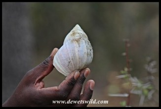 Shell of a Giant African Land Snail