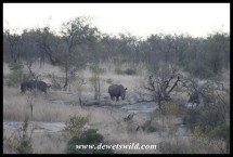 Approaching white rhino on foot