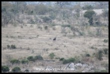 Blue wildebeest eyeing us from a distance