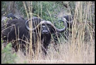 Impressive buffalo bull