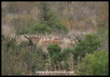 Impala herd eyeing us nervously